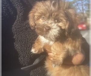 Lhasa Apso Puppy for Sale in CLOVERLY, Maryland USA