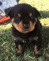 Rottweiler Puppy for sale in HAMILTON, IN, USA