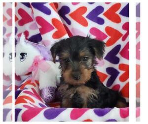 Yorkshire Terrier Dog for Adoption in TAYLOR, Texas USA