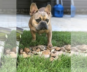 Father of the French Bulldog puppies born on 08/15/2020