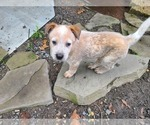 Puppy 1 Australian Cattle Dog