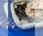 Small Photo #2 Yorkshire Terrier Puppy For Sale in FORT WORTH, TX, USA