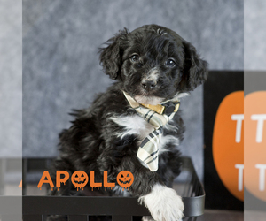Aussiedoodle Puppy for Sale in MONTROSE, Colorado USA