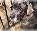 Small #34 Neapolitan Mastiff