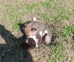 Small #10 Pomeranian