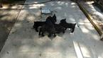 Schnauzer (Giant) Puppy For Sale in JACKSONVILLE, FL