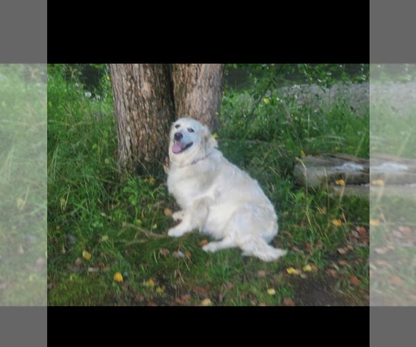 Medium Photo #2 English Cream Golden Retriever Puppy For Sale in ARCHBALD, PA, USA