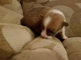 Pembroke Welsh Corgi Puppy For Sale in PORT CHARLOTTE, FL, USA