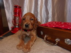 Irish Setter Puppy For Sale in TOWER CITY, PA, USA
