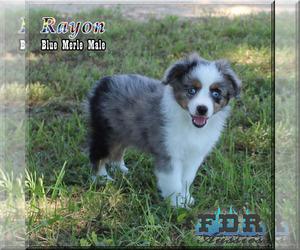 Miniature Australian Shepherd Puppy for Sale in FORESTBURG, Texas USA