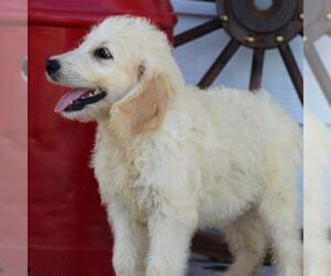 Goldendoodle Puppy for Sale in ITASCA, Texas USA