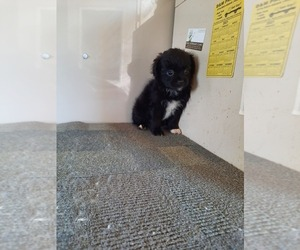 Pomeranian-Poodle (Toy) Mix Puppy for Sale in SHIPSHEWANA, Indiana USA
