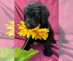 Labradoodle Puppy for Sale in PIERSON, Florida USA