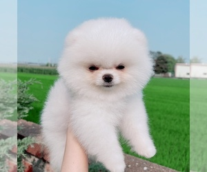 Pomeranian Puppy for Sale in CINCINNATI, Ohio USA