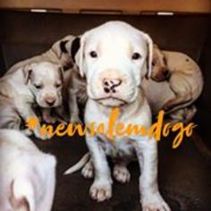 Dogo Argentino Puppy for sale in MONROE, NC, USA