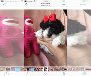Maltese Puppy for Sale in SARASOTA, Florida USA