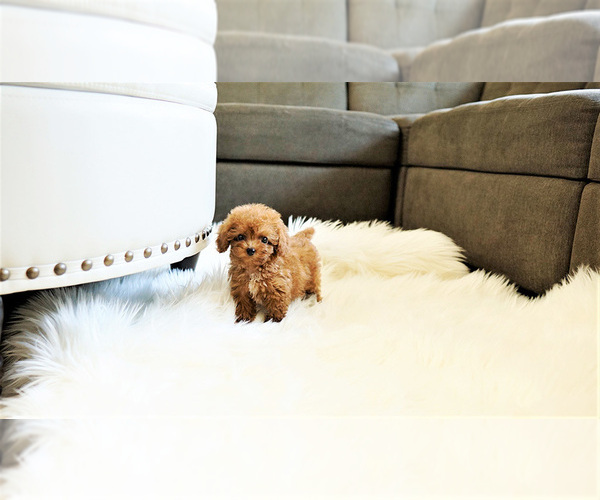 Medium Photo #2 Poodle (Standard) Puppy For Sale in LAS VEGAS, NV, USA
