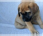 Puppy 10 Mastador-Mastiff Mix