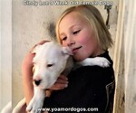 Small Photo #80 Dogo Argentino Puppy For Sale in PINEVILLE, MO, USA