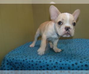 French Bulldog Puppy for sale in PATERSON, NJ, USA
