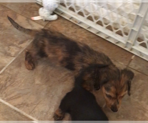 Dachshund Puppy for sale in MYRTLE, MO, USA