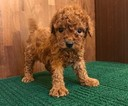 Poodle (Toy) Puppy For Sale in CHICAGO, Illinois,