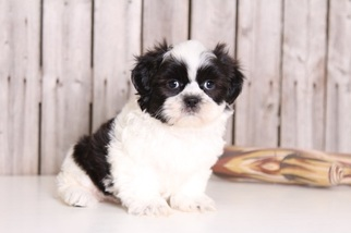 Shih Tzu Puppy For Sale in MOUNT VERNON, OH