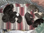 Great Dane Puppy For Sale in ELM CITY, North Carolina,