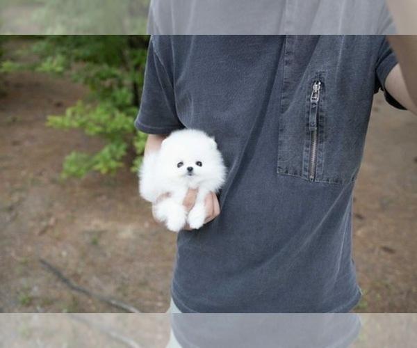 Medium Photo #3 Pomeranian Puppy For Sale in ASTORIA, NY, USA