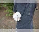 Small Photo #3 Pomeranian Puppy For Sale in ASTORIA, NY, USA