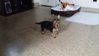 Yorkshire Terrier Puppy For Sale in HARRISBURG, PA
