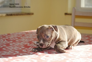 American Pit Bull Terrier Puppy For Sale in PLEASANT GROVE, UT, USA