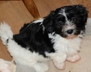 Havanese Puppy For Sale in MONTGOMERY, Texas,