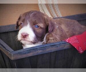 Bordoodle Puppy for Sale in OLATHE, Colorado USA