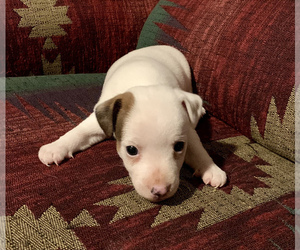Jack Russell Terrier Puppy for Sale in REBERSBURG, Pennsylvania USA