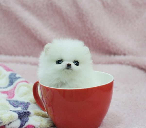 View Ad: Pomeranian Puppy for Sale near Pennsylvania