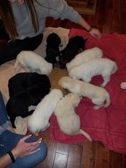 German Shepherd Dog Puppy For Sale near 63012, Barnhart, MO, USA