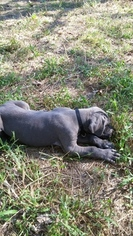 Great Dane Puppy For Sale in CALHOUN, IL