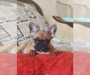French Bulldog Puppy for sale in ROCKVILLE, MD, USA