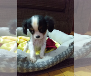 Cavalier King Charles Spaniel Puppy for sale in ANN ARBOR, MI, USA