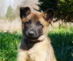 Puppy 3 Belgian Malinois