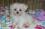 Maltese-Poodle (Toy) Mix Puppy For Sale in ORO VALLEY, AZ, USA