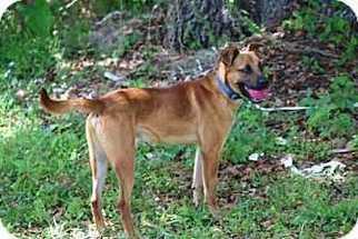 Kennedy - Rhodesian Ridgeback / Hound / Mixed (short coat) Dog For Adoption