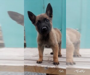 Belgian Malinois Puppy for sale in SAN DIEGO, CA, USA