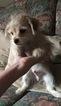 MalChi Designer Puppy For Sale