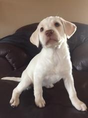 Labrador Retriever Puppy For Sale in NAPOLEON, MO, USA