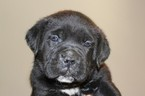 Cane Corso Puppy For Sale in CHARLOTTE, NC