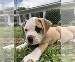 Small #24 American Bulldog