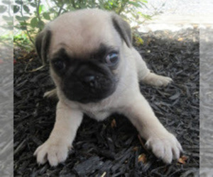 Puppyfinder com: Pug puppies puppies for sale near me in