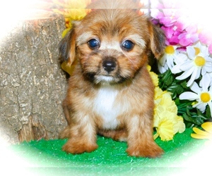 Poodle (Toy)-Yorkshire Terrier Mix Puppy for Sale in HAMMOND, Indiana USA